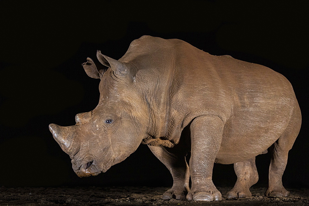White rhino (Ceratotherium simum) at night, Zimanga private game reserve, KwaZulu-Natal, South Africa, Africa - 743-1845