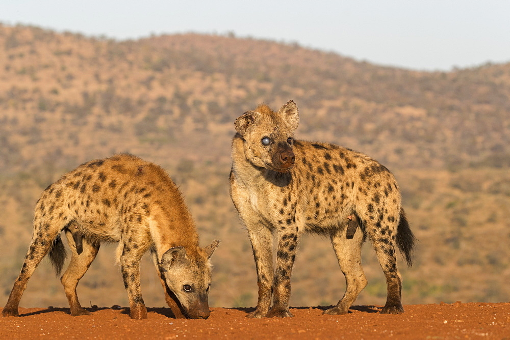 Spotted hyena (Crocuta crocuta), Zimanga private game reserve, KwaZulu-Natal, South Africa, Africa - 743-1846