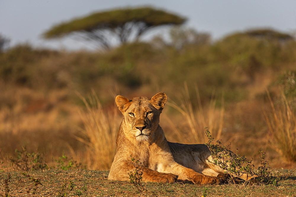 Lioness (Panthera leo), Zimanga private game reserve, KwaZulu-Natal, South Africa, Africa