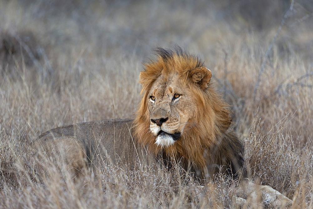 Lion (Panthera leo), Zimanga private game reserve, KwaZulu-Natal, South Africa, Africa