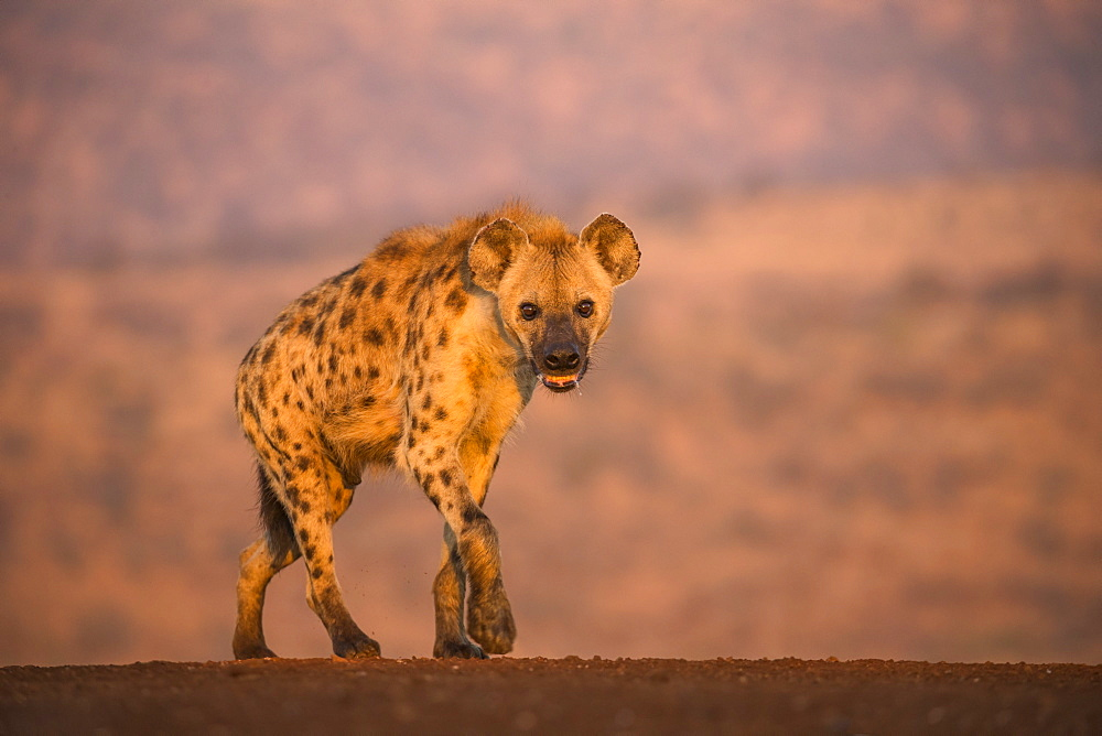 Spotted hyena (Crocuta crocuta), Zimanga private game reserve, KwaZulu-Natal, South Africa, Africa