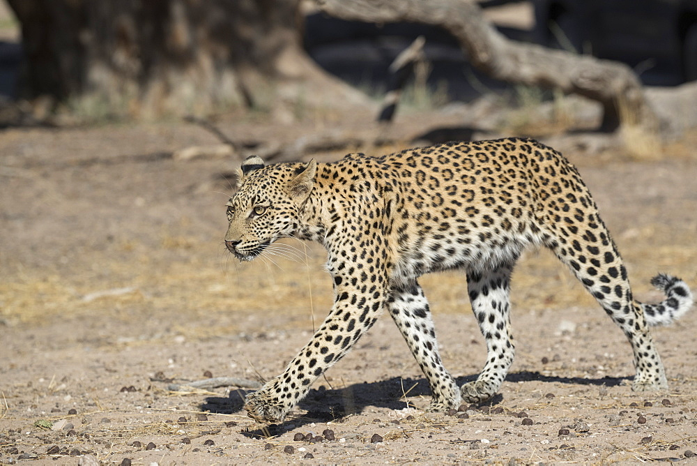 Leopard (Panthera pardus) female, Kgalagadi Transfrontier Park, South Africa, Africa