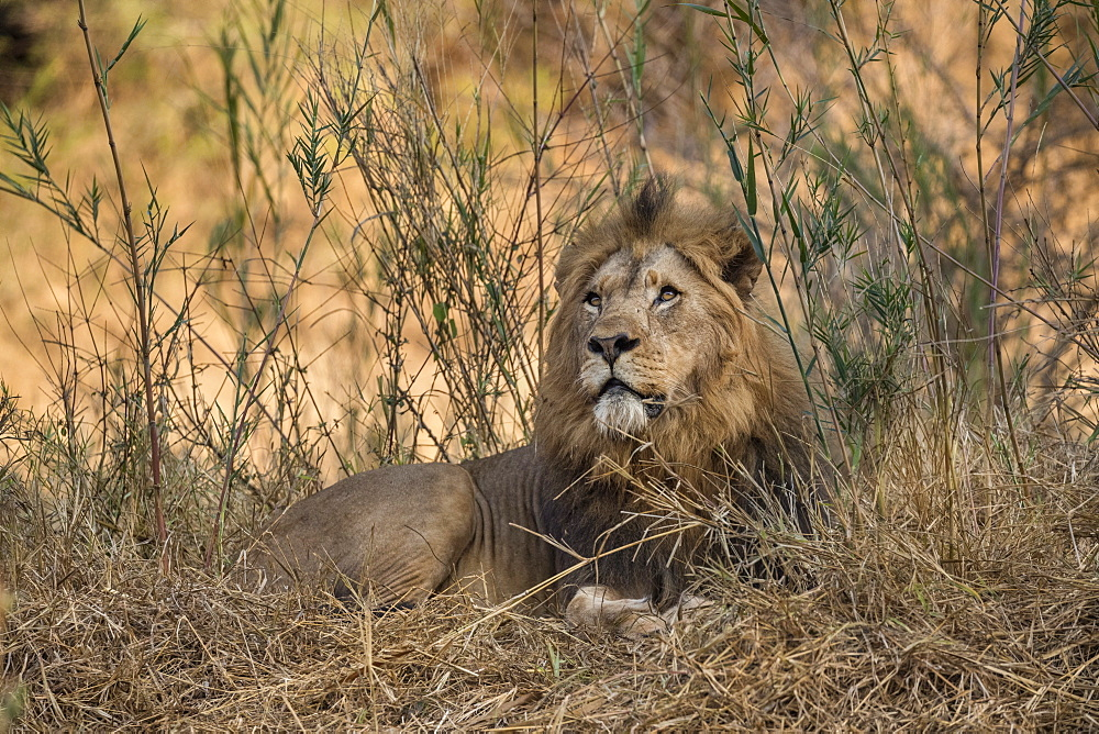 Lion (Panthera leo), Zimanga private game reserve, KwaZulu-Natal, South Africa, - 743-1860