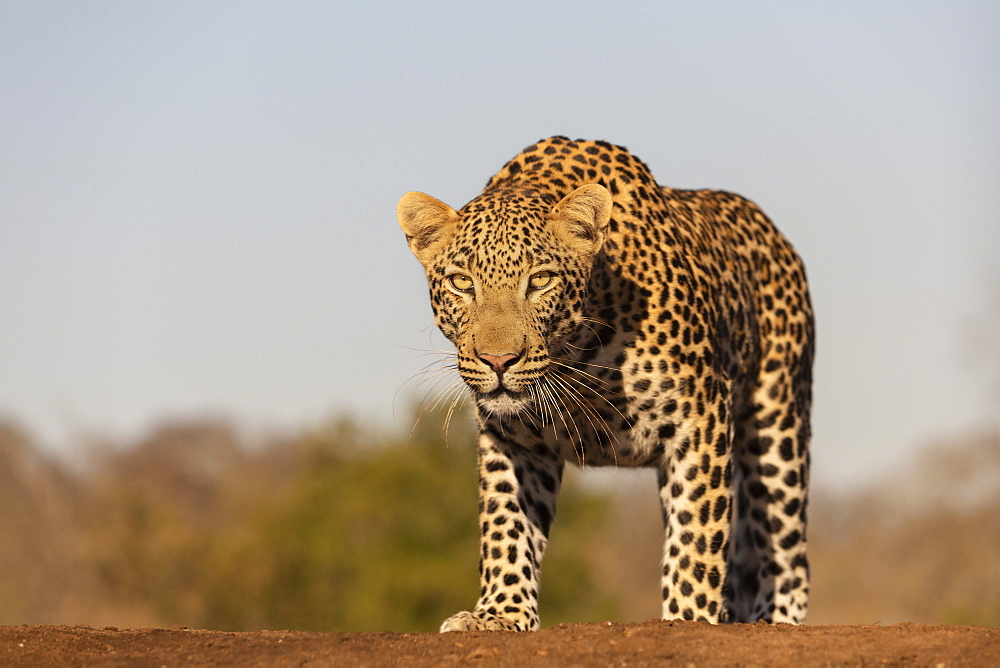 Leopard (Panthera pardus) male, Zimanga private game reserve, KwaZulu-Natal, South Africa, Africa