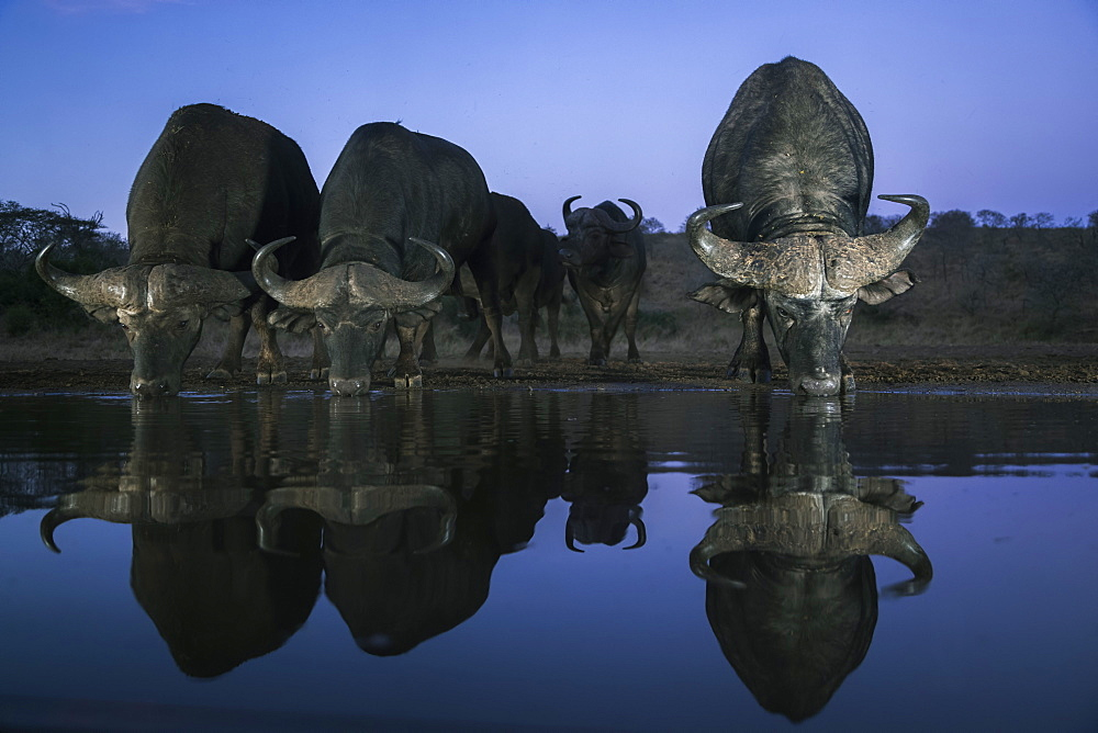 Cape buffalo (Syncerus caffer) drinking at dusk, Zimanga private game reserve, KwaZulu-Natal, South Africa, Africa