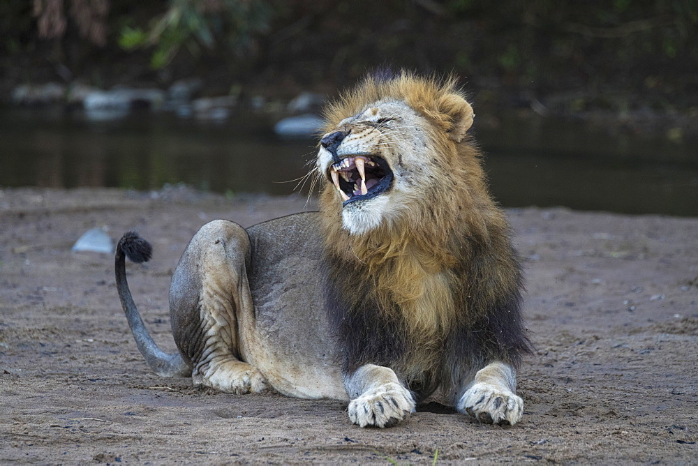 Lion (Panthera leo) yawning, Zimanga private game reserve, KwaZulu-Natal, South Africa, Africa
