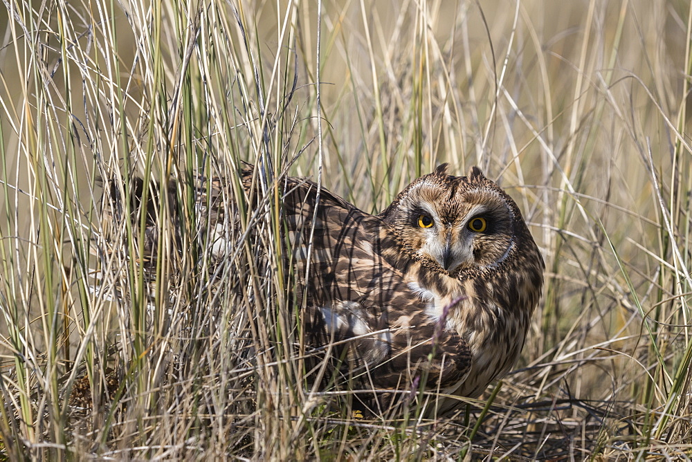 Short-eared owl (Asio flammeus) captive, Holy Island, Northumberland, England, United Kingdom, Europe - 743-1870