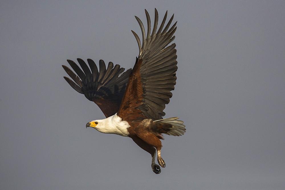 African fish eagle (Haliaeetus vocifer), Chobe River, Botswana, Africa