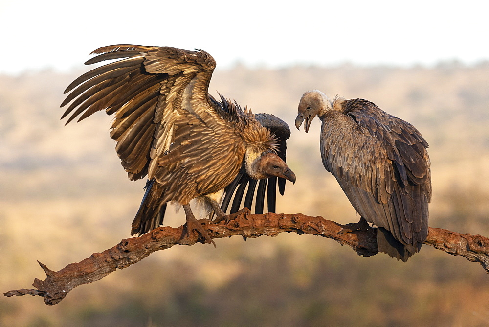 Whitebacked vultures (Gyps africanus), Zimanga private game reserve, KwaZulu-Natal, South Africa, Africa - 743-1878