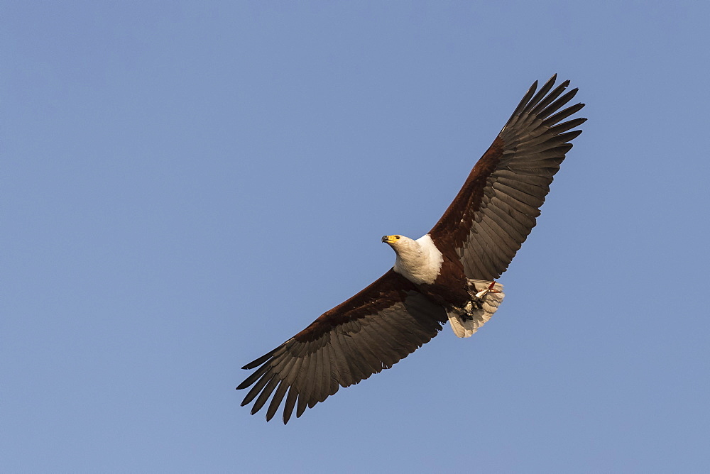 African fish eagle (Haliaeetus vocifer) carrying tiger fish, Chobe river, Botswana,