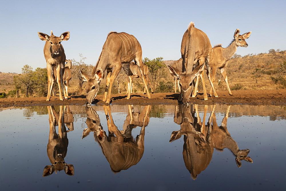 Greater kudu (Tragelaphus strepsiceros) at water, Zimanga private game reserve, KwaZulu-Natal, South Africa, Africa