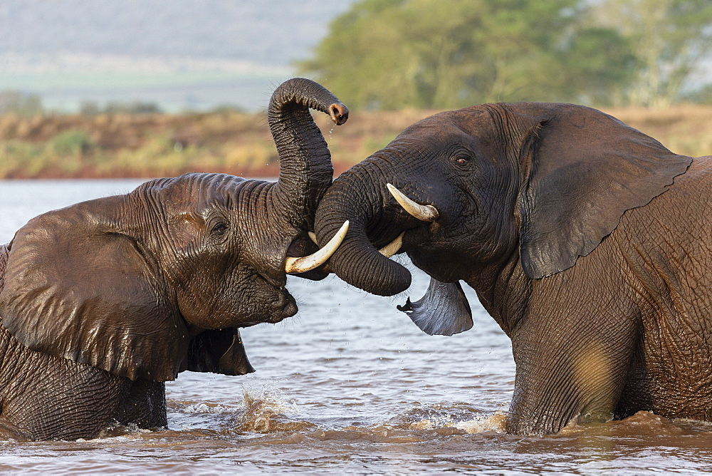 African elephants (Loxodonta africana) playfighting in water, Zimanga game reserve, KwaZulu-Natal, South Africa, Africa