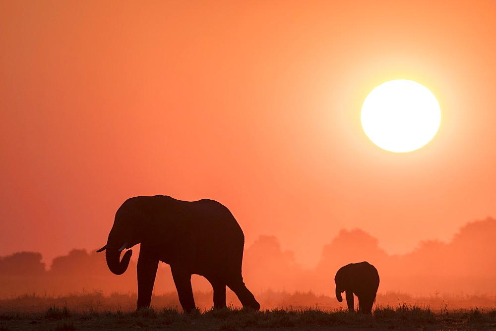 African elephants (Loxodonta africana) at sunset, Chobe national park, Botswana,