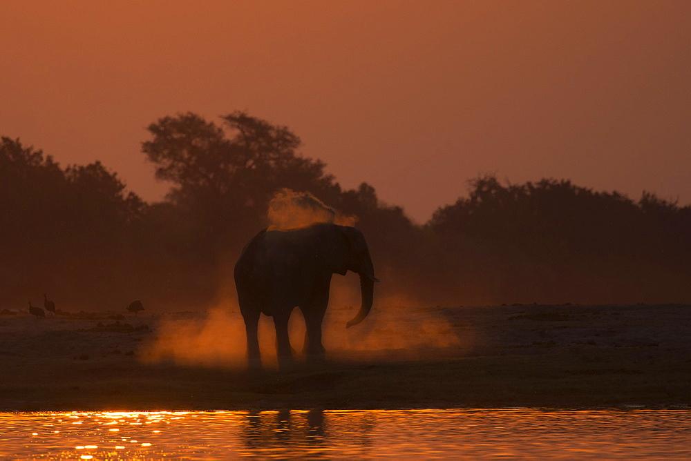 African elephant (Loxodonta africana) dusting at sunset, Chobe national park, Botswana,