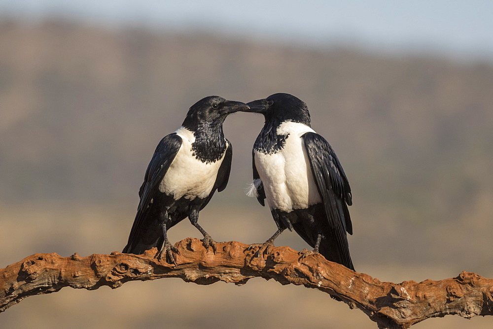 Pied crows (Corvus albus), Zimanga private game reserve, KwaZulu-Natal, South Africa, Africa