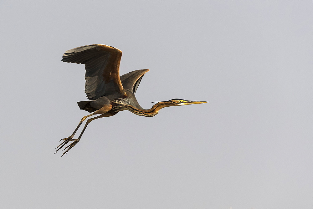 Purple heron (Ardea purpurea), Chobe National Park, Botswana, Africa