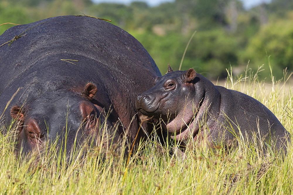 Hippo (Hippopotamus amphibius) with calf, Chobe National Park, Botswana, Africa