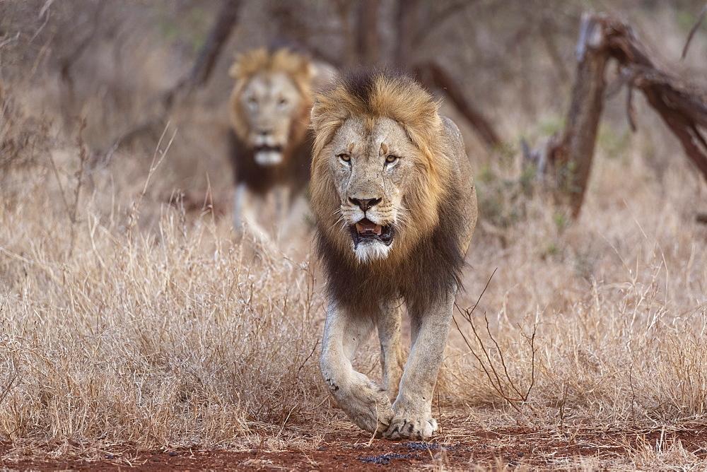 Lions (Panthera leo), Zimanga private game reserve, KwaZulu-Natal, South Africa, Africa