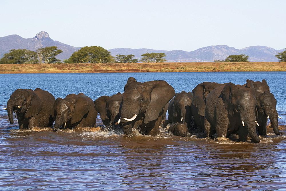 African elephants (Loxodonta africana) in water, Zimanga game reserve, KwaZulu-Natal, South Africa