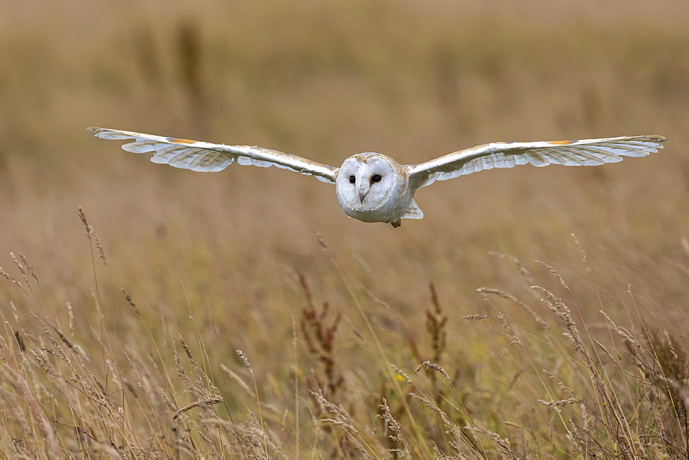 Barn owl (Tyto alba), captive, Cumbria, England, United Kingdom, Europe