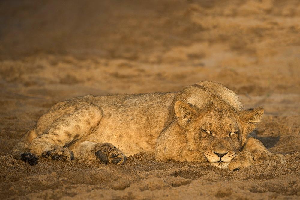 Lion (Panthera leo) cub sleeping, Zimanga private game reserve, KwaZulu-Natal, South Africa, Africa