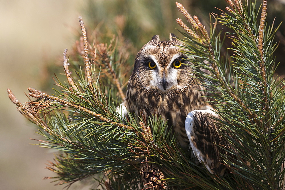 Short-eared owl (Asio flammeus) captive, Holy Island, Northumberland, England, United Kingdom, Europe