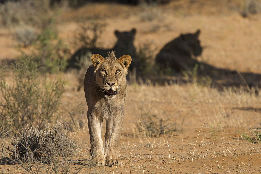 Lion (Panthera leo) male, Kgalagadi Transfrontier Park, South Africa - 743-1917
