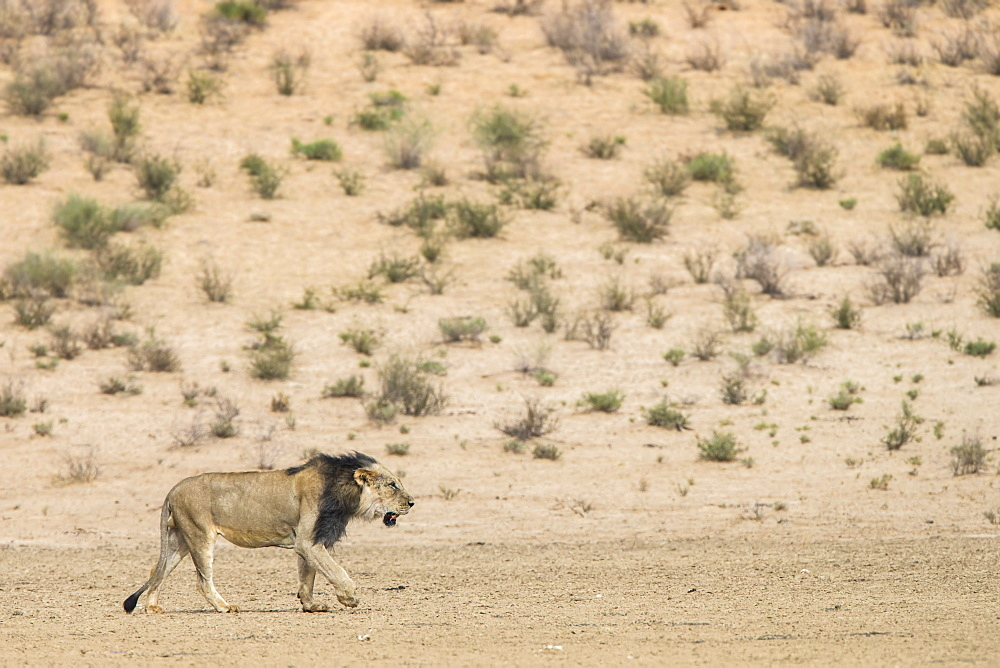 Lion (Panthera leo) male, Kgalagadi Transfrontier Park, South Africa