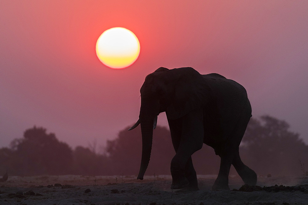 African elephant (Loxodonta africana) at sunset, Chobe National Park, Botswana, Africa