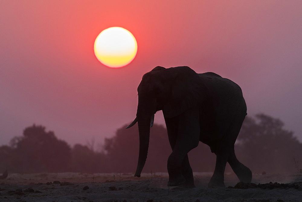 African elephant (Loxodonta africana) at sunset, Chobe national park, Botswana