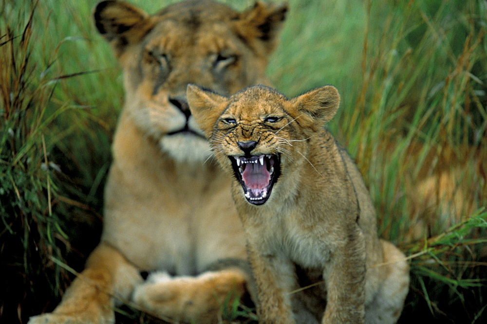 Two to three month old lion cub with lioness (Panthera leo), Kruger National Park, South Africa, Africa