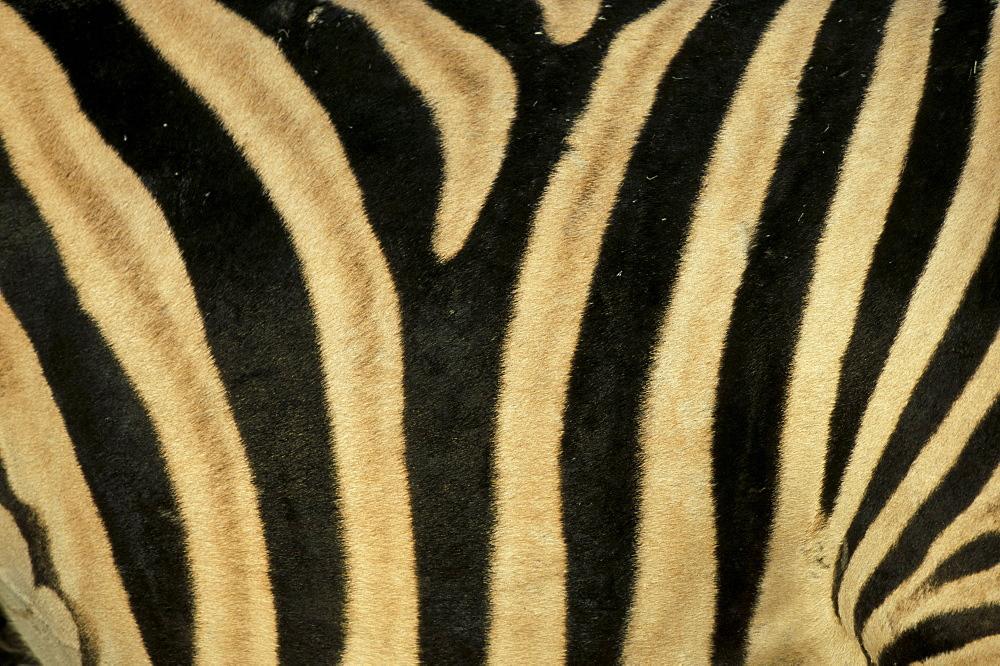 Close-up of zebra skin, South Africa, Africa
