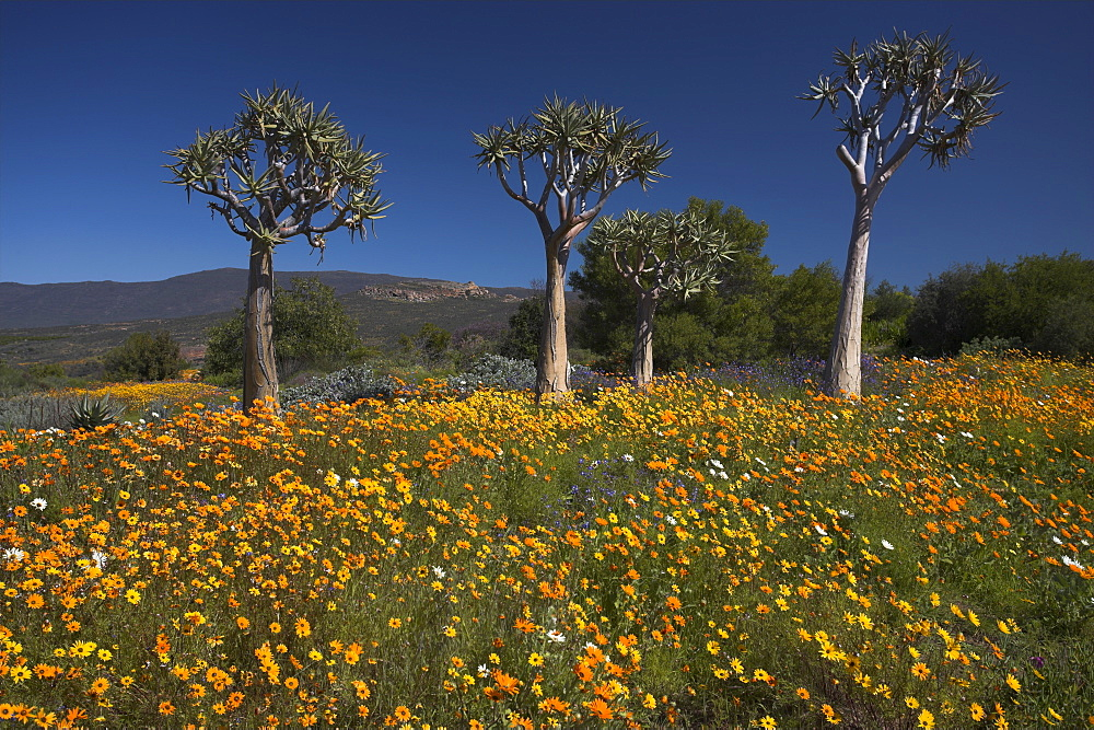 Wildflowers and quiver trees, Ramskop Wildflower Garden, Clanwilliam, Western Cape, South Africa