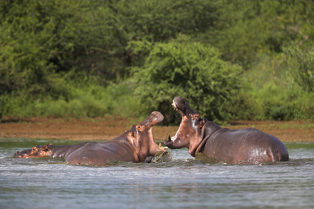 Hippos fighting, Hippopotamus amphibius, in Kruger National Park, Mpumalanga, South Africa