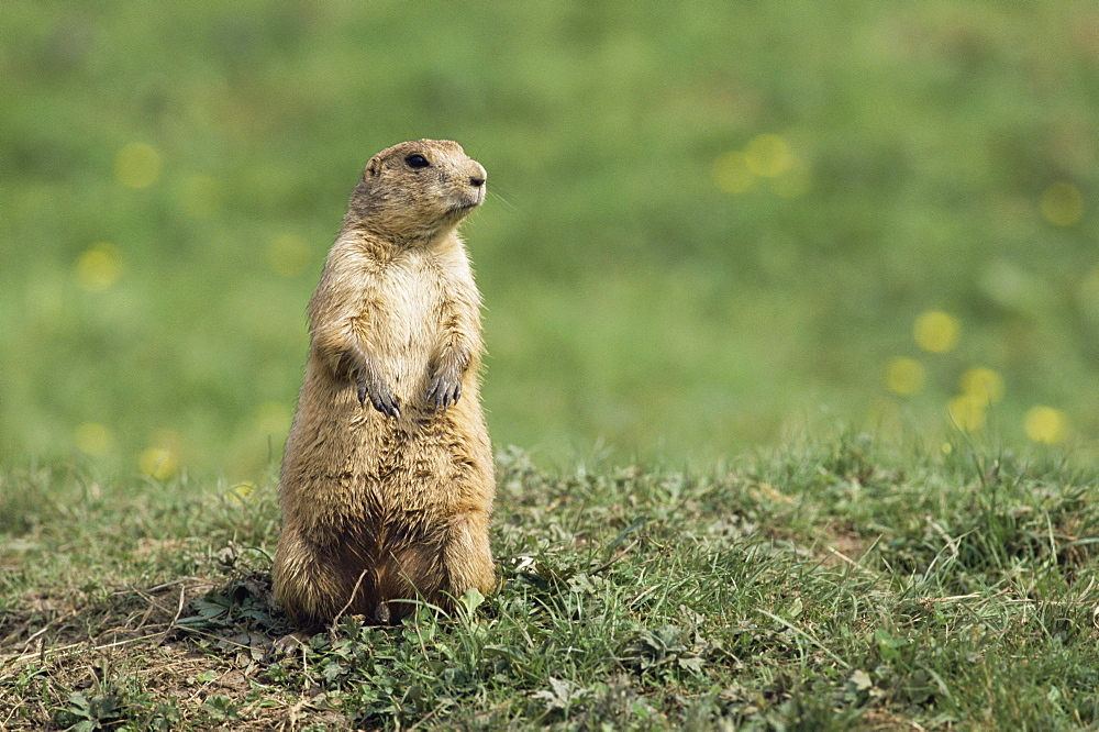 Prairie dog, Cynomys ludovicianus, in captivity, North America