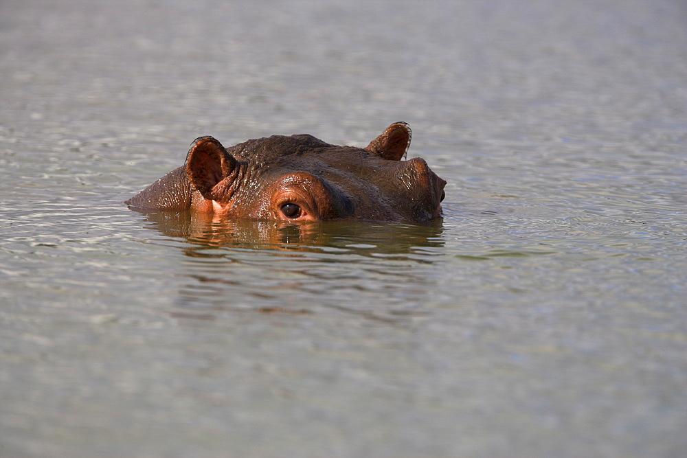 Hippo, Hippopotamus amphibius, in Kruger National Park, Mpumalanga, South Africa