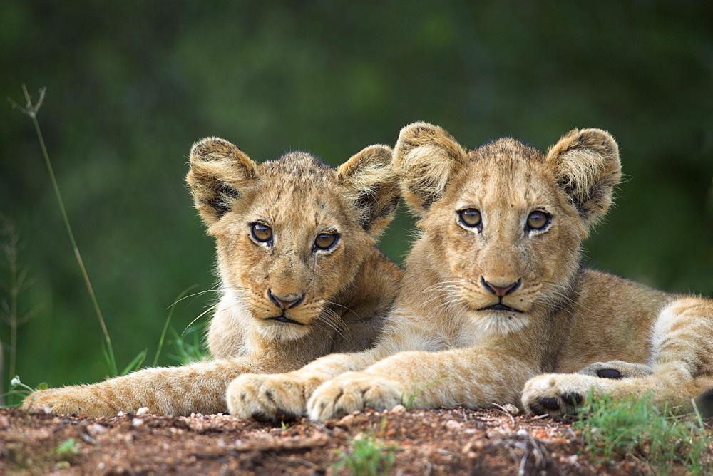 Lion cubs, Panthera leo, in Kruger National Park Mpumalanga, South Africa