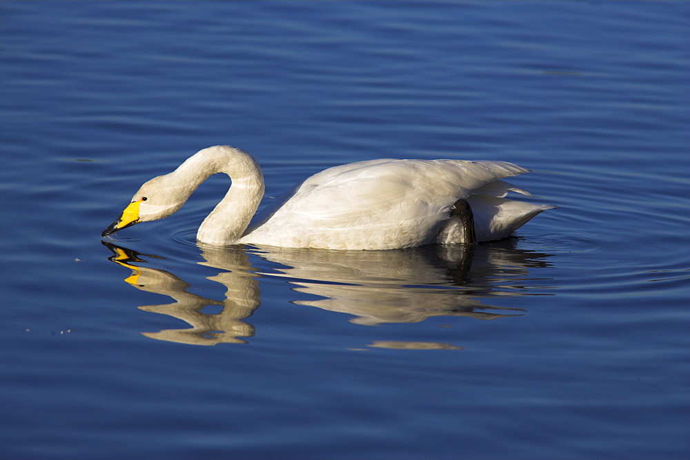 Whooper swan, Cygnus cygnus, at Martin Mere Wildfowl and Wetland Centre, Burscough, Lancashire, England, United Kingdom, Europe