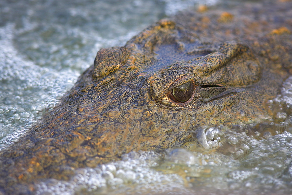 Close-up of Nile crocodile (Crocodylus niloticus), Kruger National Park, South Africa, Africa