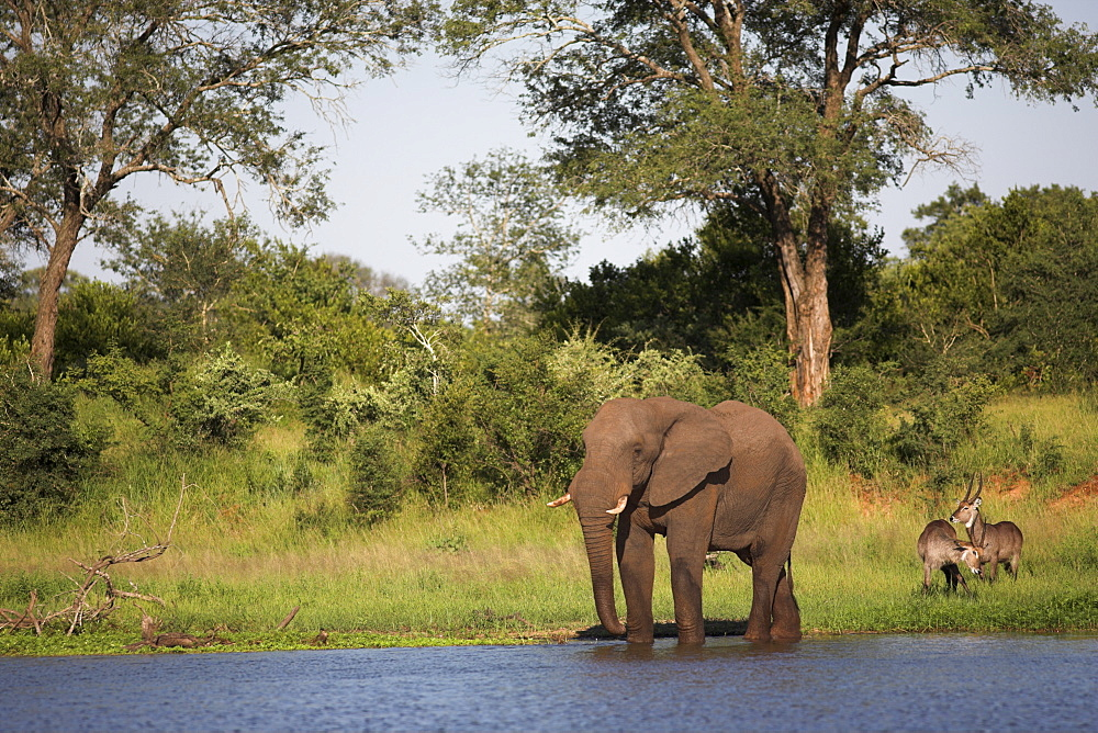 Elephant (Loxodonta africana), with waterbuck (Kobus ellipsiprymnus), at water in Kruger National Park, Mpumalanga, South Africa, Africa