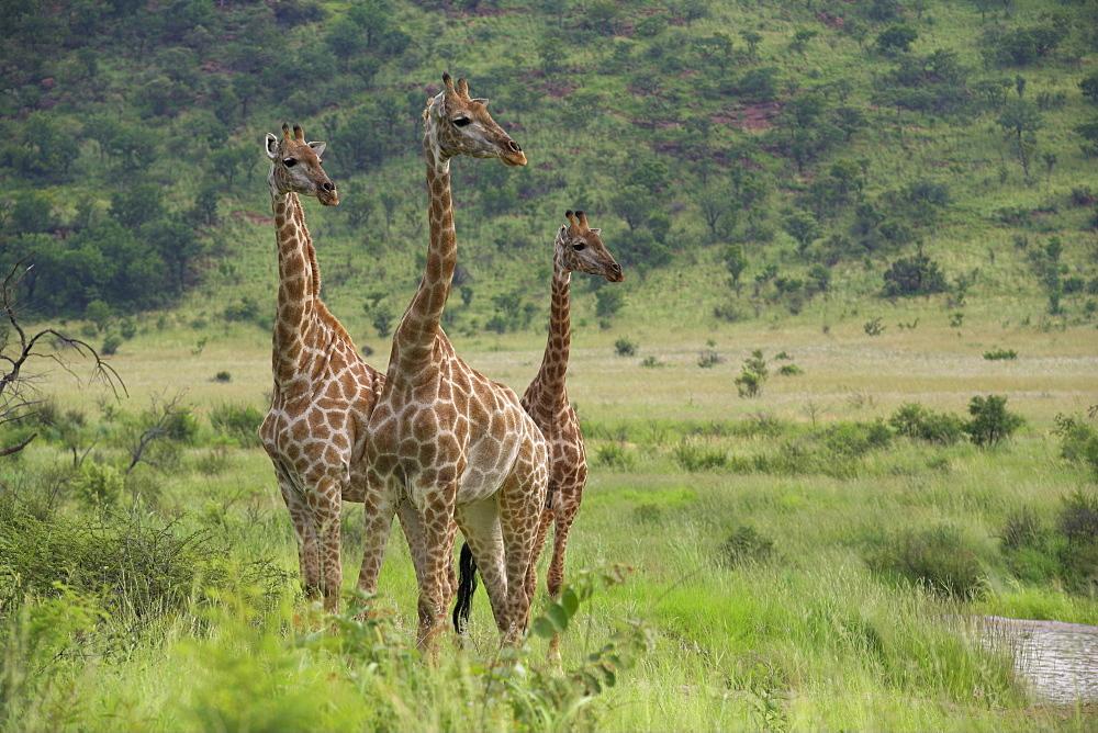 Three giraffes (Giraffa camelopardalis), Pilanesberg Game Reserve, North West Province, South Africa, Africa