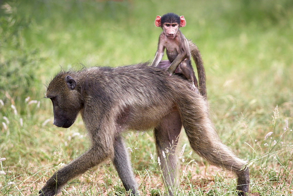 Young chacma baboon (Papio cynocephalus ursinus) riding on adult's back in Kruger National Park, Mpumalanga, South Africa, Africa