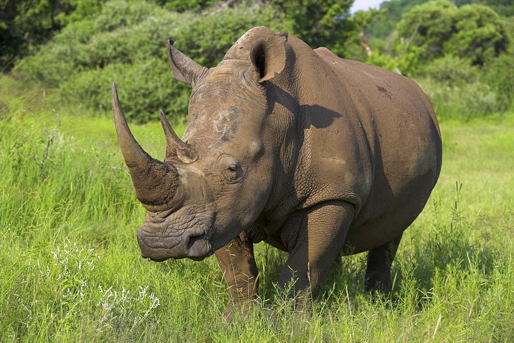 White rhino (Ceratotherium simum), Pilanesberg Game Reserve, North West Province, South Africa, Africa