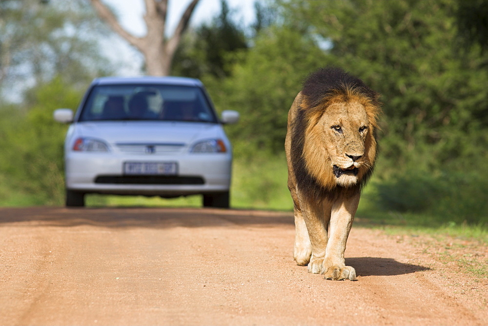 Lion (Panthera leo), and tourist vehicle, Kruger National Park, South Africa, Africa