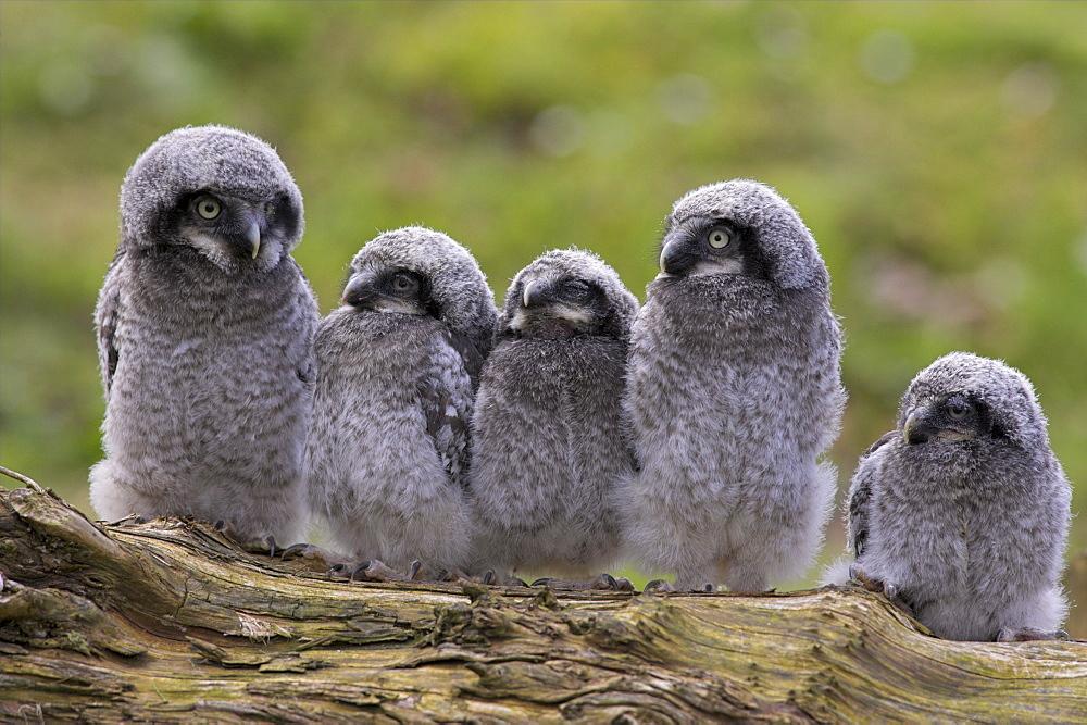 Chicks of Northern hawk owl (Surnia ulula ulula), native to Scandinavia and Eurasia, captive, World Owl Trust, Cumbria, England, United Kingdom, Europe