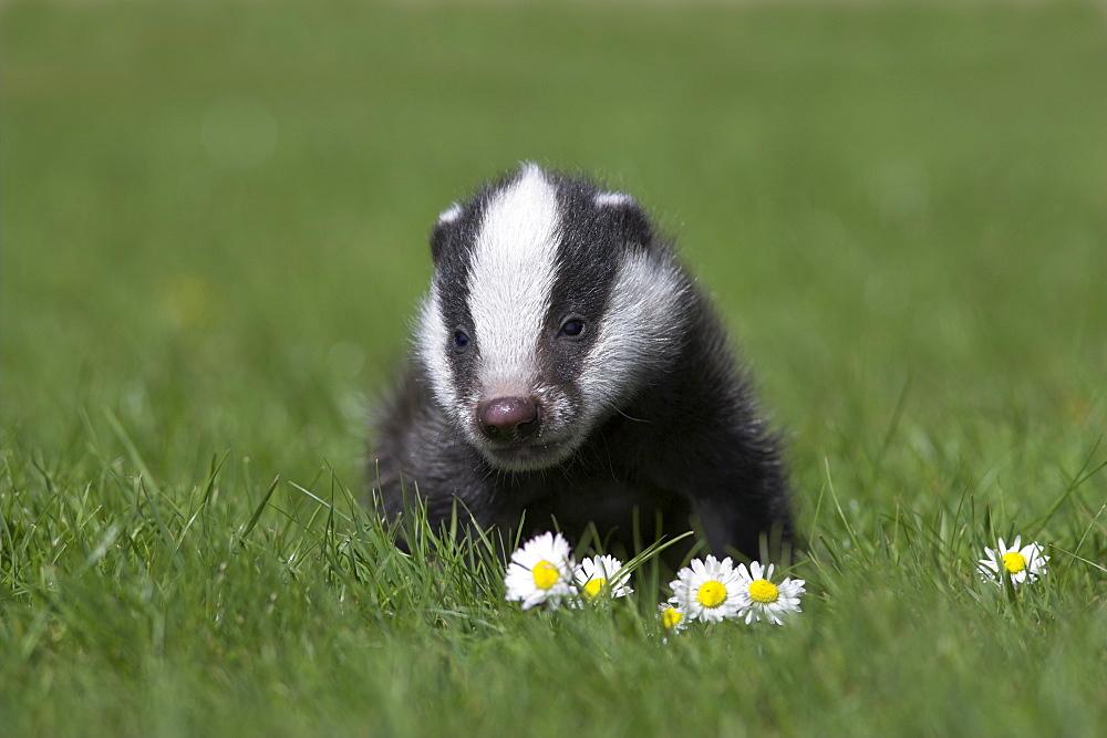 Badger cub (Meles meles), captive, United Kingdom, Europe