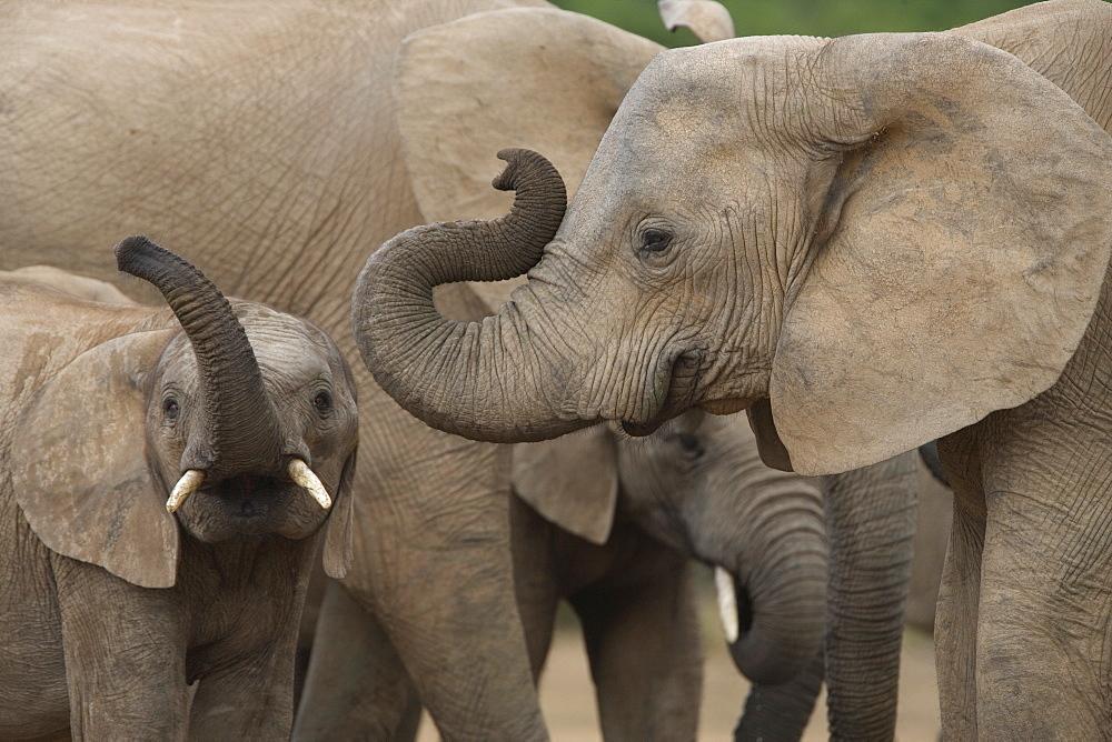 African elephant (Loxodonta africana), Addo Elephant National Park, South Africa, Africa - 743-563