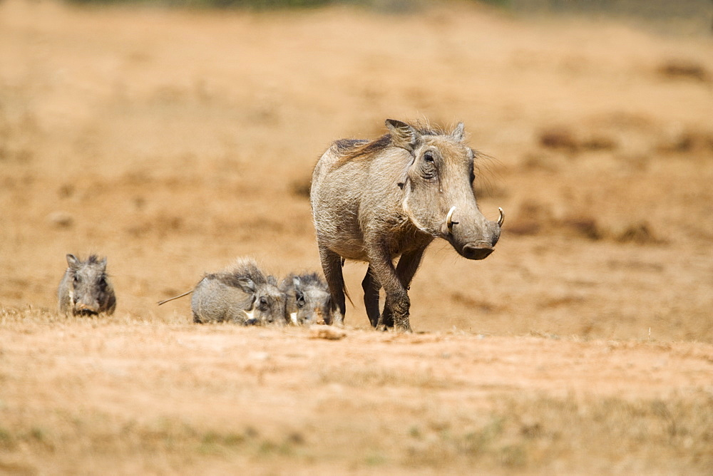 Warthog (Phacochoerus aethiopicus), Addo National Park, South Africa, Africa