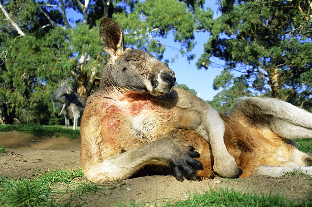Red kangaroo, Macropus rufus, Cleland Wildlife Park, South Australia, Australia