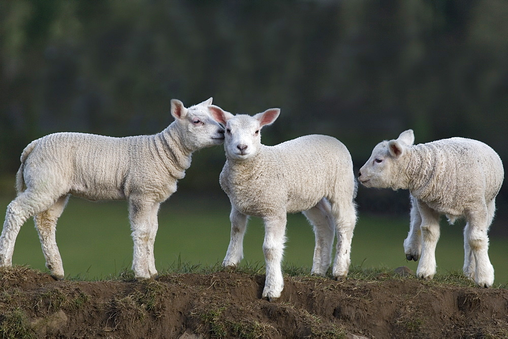 Spring lambs, Cumbria, England, United Kingdom, Europe - 743-609